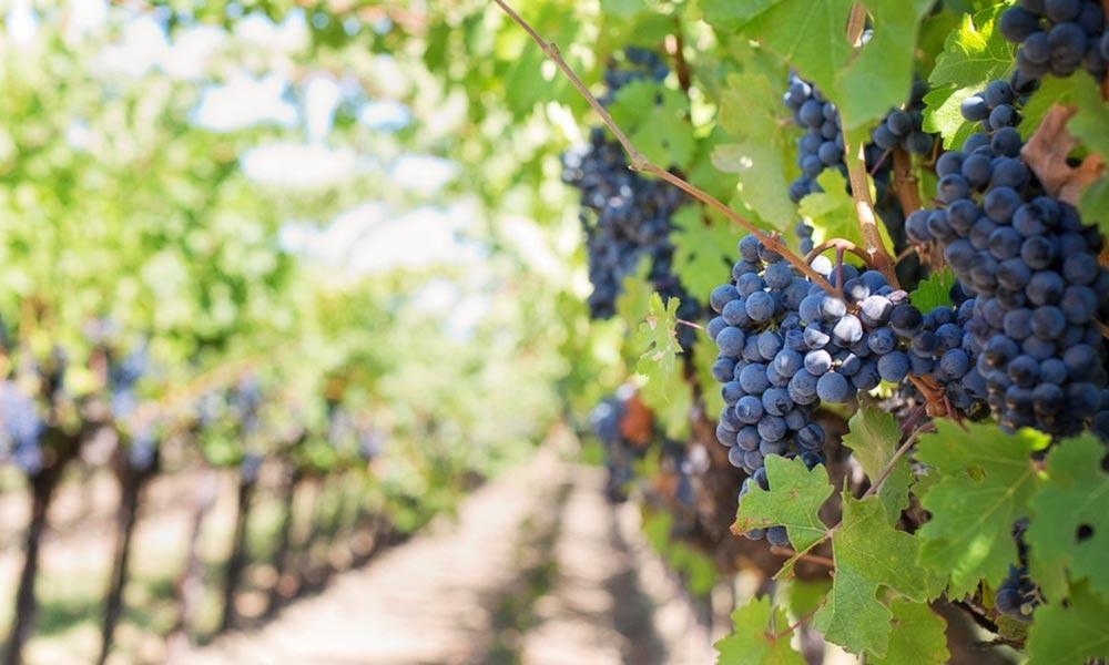 Experto en vinos, ¿cuál es su papel en la elaboración de esta bebida?