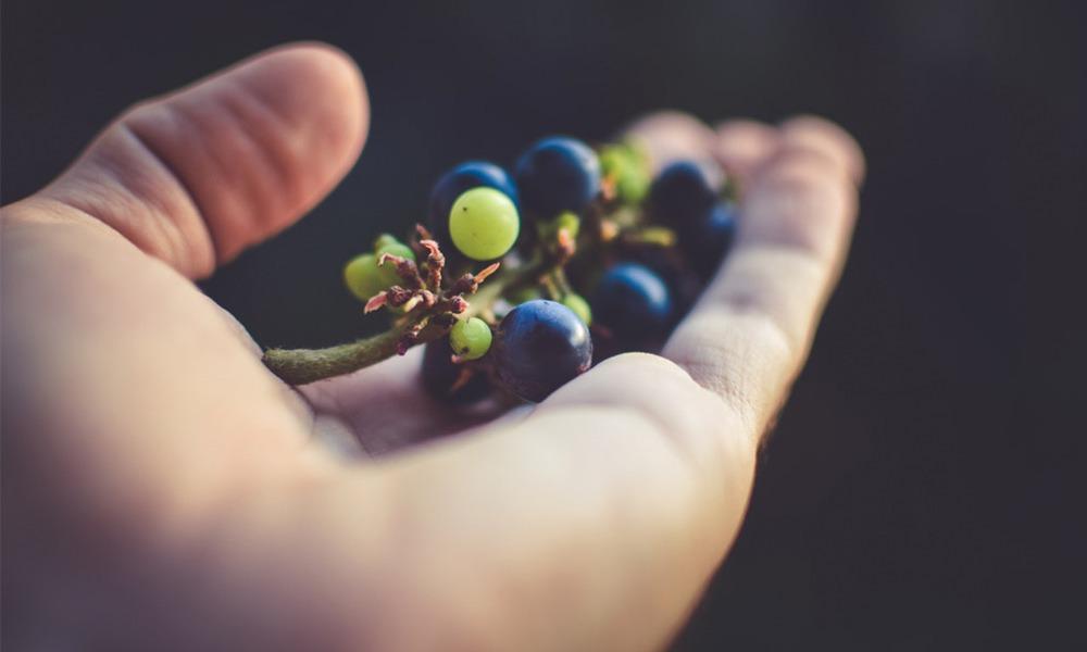¿Qué es la vendimia y en qué consiste?